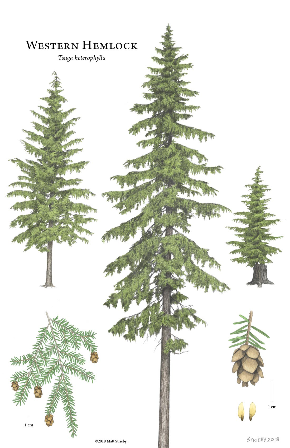 Detailed drawing by Matt Strieby Western Hemlock